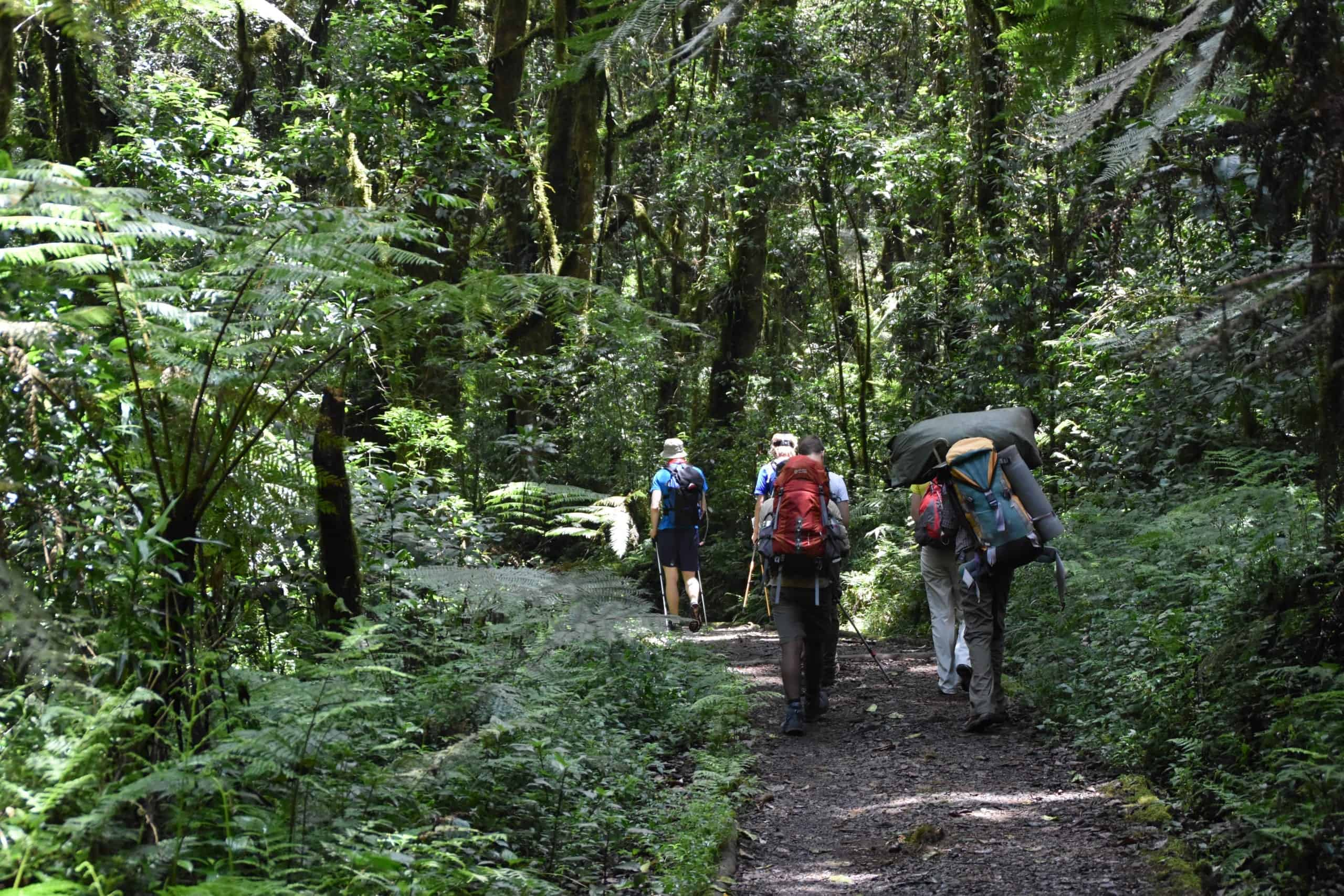 Four trekkers and their guide and a porter march through Kilimanjaro's forest zone with tree ferns lining the path